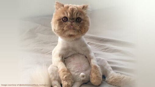 Shaved Persian cat - image courtesy of @winstonmushface, via Instagram - edited by Ask An Iranian