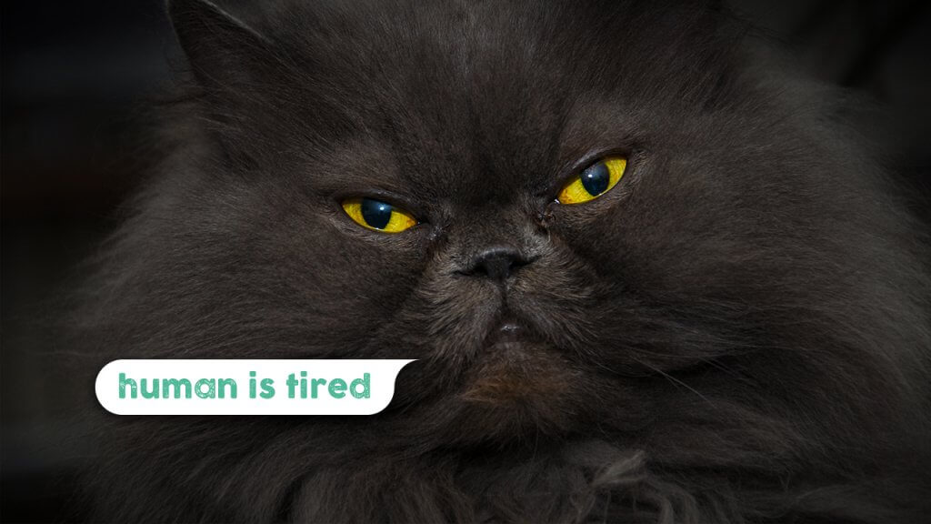 Ask An Iranian - Why do Iranians think I'm tired all of the time - Black Persian cat - Khaste nabashi